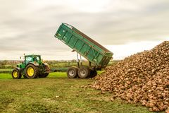 A sugar beet harvest in progress - Tractor and trailer unload sugar beets Royalty Free Stock Photography