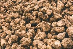 Sugar beet harvest Royalty Free Stock Photo