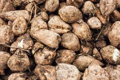 Sugar beet harvest Stock Images