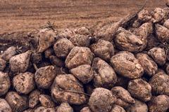 Sugar beet harvest Royalty Free Stock Images
