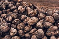 Sugar beet harvest Royalty Free Stock Photos