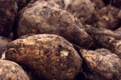 Sugar beet harvest. Pile of harvested agricultural root crop in the field. Selective focus Stock Images