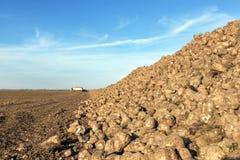 Sugar Beet harvest, Sugar beet pile, Harvest. Stock Images
