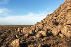 Sugar Beet harvest, Sugar beet pile, Harvest. Royalty Free Stock Photo
