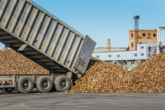 Sugar beet harvest - truck waiting in front of off-loaded beet Royalty Free Stock Photo