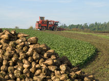 Sugar beet harvester. Behind a pile of already cropped fruit Royalty Free Stock Photos