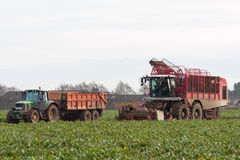 Sugar beet harvesting Stock Photos