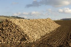 Sugar beet heap. A huge heap of sugar beets at the edge of a freshly ploughed and harrowed field. With space for copy royalty free stock photo