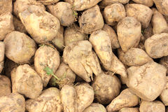 Sugar beet pile Royalty Free Stock Photography