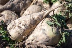 Sugar beet Stock Images