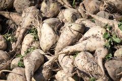 Sugar beet Royalty Free Stock Photos