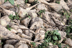 Sugar beet Royalty Free Stock Photos