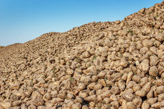 Sugar beet pile at the field Stock Photos