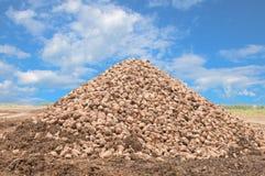 Sugar beet pile Stock Photography