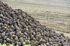 Sugar beet pile at the field after harvest Stock Photography