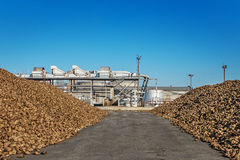 Sugar beet pile of the field after the harvest before processing Stock Photo