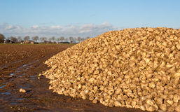 Sugar beet pile at the field after harvesting Stock Images