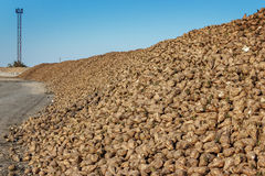 Sugar beet pile before processing at the plant for the productio Stock Image