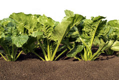 Sugar Beet. Plant on the field stock image