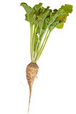Sugar beet plant Royalty Free Stock Photos
