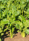 Sugar beet plants from close Stock Image