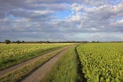 Sugar beet and potato crops Royalty Free Stock Photo