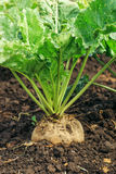 Sugar beet root crop. In the ground, selective focus Royalty Free Stock Photo