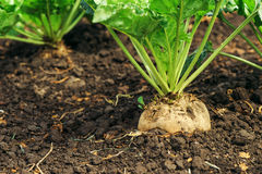 Sugar beet root in ground Royalty Free Stock Images