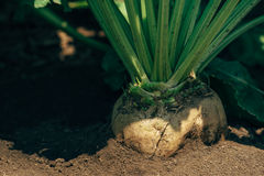 Sugar beet root in the ground. Cultivated crop field grown commercially for sugar production, selective focus Royalty Free Stock Photo