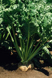 Sugar beet root Stock Images