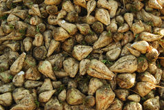 Sugar beet roots Stock Images