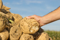Sugar beet. Someone holding a sugar beet in his hand royalty free stock image