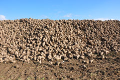 Sugar beets Royalty Free Stock Photo