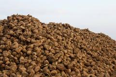 Sugar beets. A big stack of many sugar beets Stock Image