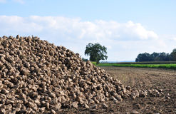 Sugar beets Stock Images