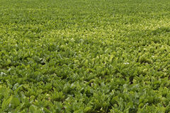 Sugar beets. Detail of sugar beets in a field royalty free stock photo