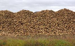 Sugar beets in the field Royalty Free Stock Photos