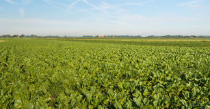 Sugar beets growing in a large field. Organically grown sugar beet  or Beta vulgaris subsp. vulgaris var. altissima plants in a large field on a sunny summer day Royalty Free Stock Photos