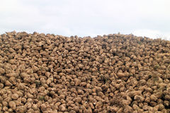 Sugar beets Stock Photos