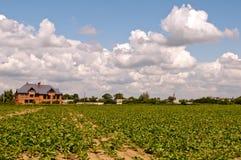 Sugar beets Stock Image