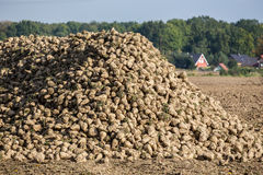 Sugar beets Stock Photo