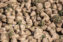 Sugar beets Stock Photography