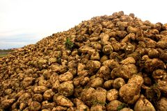 Sugar Beets Royalty Free Stock Image