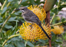 Sugar Bird on a Pin Cushion Protea Plant Flower Royalty Free Stock Photography