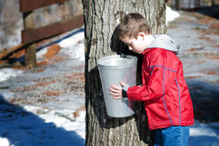 Sugar bush Royalty Free Stock Image