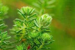 Sugar bush Royalty Free Stock Image