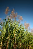 Sugar cane. Green sugar cane on bright sunny day stock image