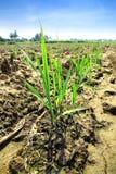 Sugar cane. Small sugar cane. Growing in Sugarcane royalty free stock photos