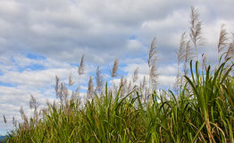 Sugar cane. In bloom with sky background royalty free stock image