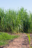 Sugar-cane Royalty Free Stock Images